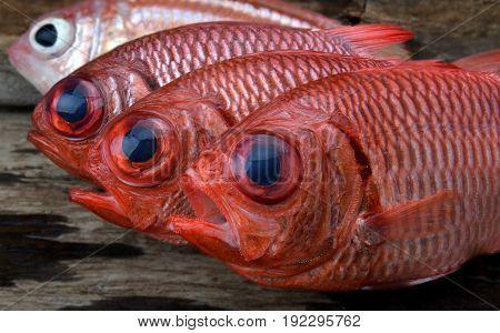 Fresh Pinecone Soldier Fish