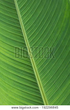 close up banana leaves,Texture background of green Leaf.