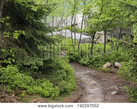 Mountain ground path among pines tree. Rocks in background.