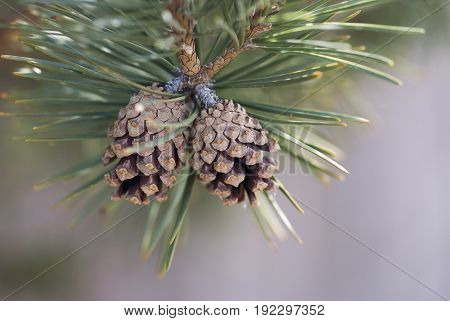 Two pine cones hang from the branch of a pine tree in wintertime.