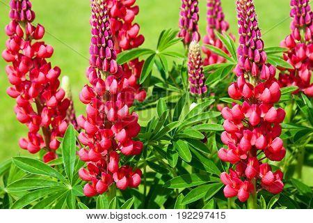 beautiful red flowers lupines flowering on a flowerbed in a garden. floral bed blooming. wild flower lupin on a summer meadow close up