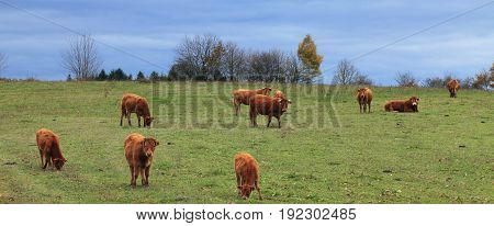 Herd of brown cattles grazing in an autumn field.The breed is Salers and is considered to be one of the oldest and most genetically pure of all European breeds.They are common in Auvergne region of France.