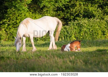 White mare and foal on the meadow