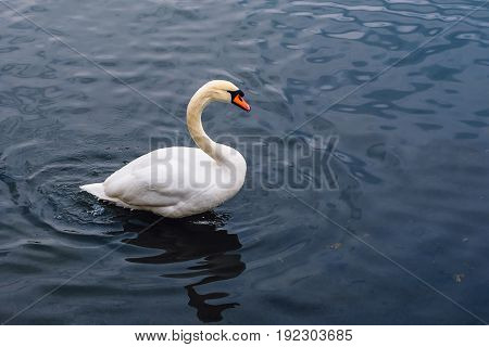 Single White Swan on the Pond. Water on Background with Ripples. Copy Space on the Right.
