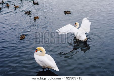 One Swan Stands in Water second Bird Flaps Its Wings and Ducks Swim on Backdrop.