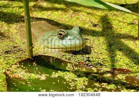 A frog hides in the pond waiting for lunch to come by.