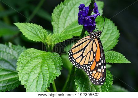 A pretty Monarch butterfly lands in the gardens on a royal purple flower.