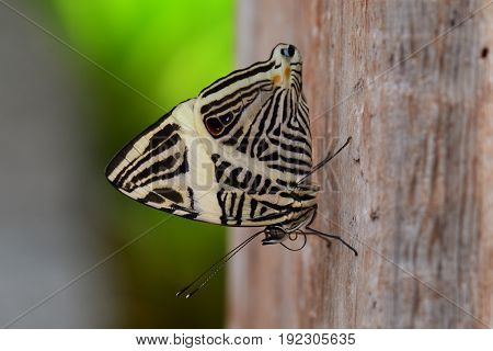 A Neotropical or Zebra butterfly lands in the gardens