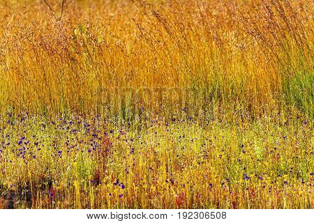 Utricularia delphinoides Thor.ex Pell. flower mix field golden grass at Mukdahan Nation Park Thailand