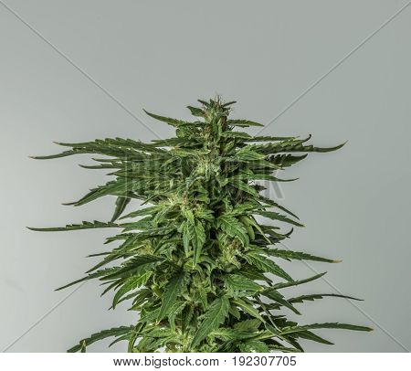 White background and green bloom of aged marijuana