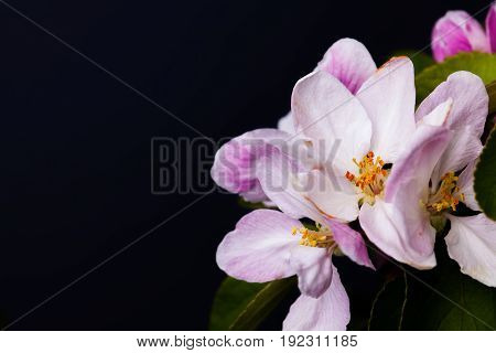 Pretty apple blossom flowers isolated against black background with copy space. Spring garden tree image in close up.