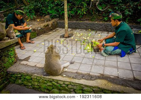 BALI, INDONESIA - MARCH 05, 2017: Unidentified people cutting cob corns to feed the long-tailed macaques Macaca fascicularis in The Ubud Monkey Forest Temple on Bali Indonesia.