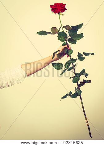 Woman Hand Holding Red Romantic Rose