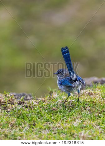 Beautiful little Splendid Fairy Wren, Malurus splendens, Western Australia