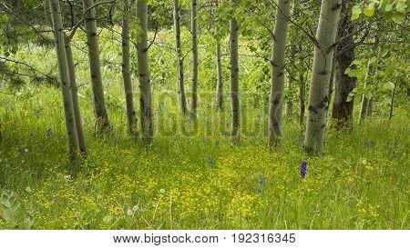 A grove of aspens high on a mountain in eastern Washington.