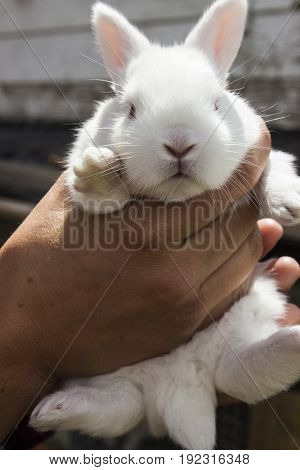 A two week old baby albino rabbit.