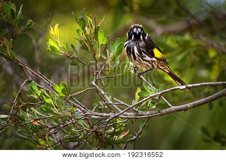 The Australian New Holland Honeyeater bird (Phylidonyris novaehollandiae)