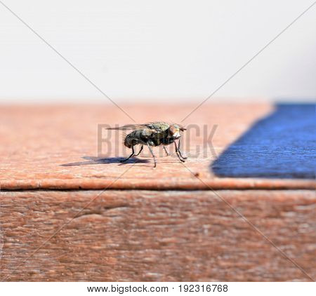 Ugly Fly sitting on a piece of wood