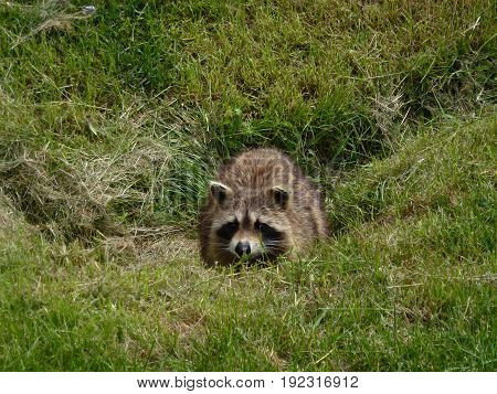Raccoon hiding in the grass in forest