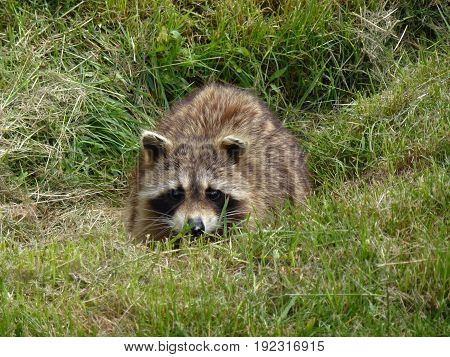 The raccoon hiding in the grass in forest