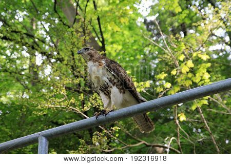 Falcon bird sitting on the fence in the park