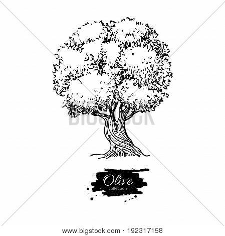 Olive tree. Hand drawn vector illustration. Vintage botanical drawing. Old style engraved isolated object. Great for label, logo, icon, poster.
