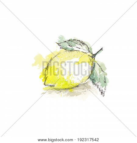 Watercolor sketch of isolated lemon on white background.