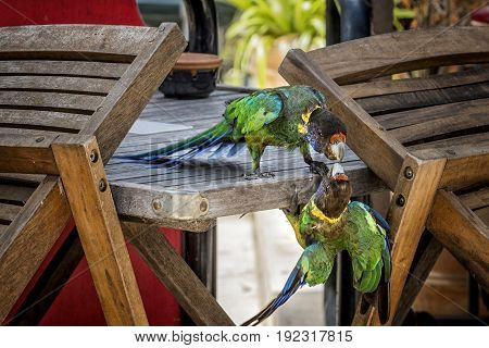 Two amusing Australian Ringneck Parrots in an argument