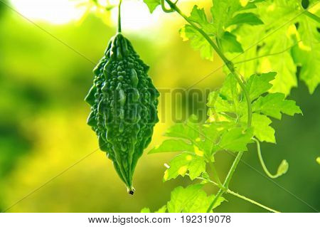 Close up one green momordica with leaf growing on a branch in field plant agriculture farm