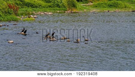 Four double-crested cormorant sitting on large stones in a river