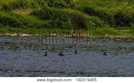 Five double-crested cormorant swimming together in a river