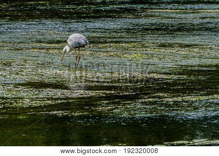 Great blue heron standing on a pebbled sandbar in a shallow river hunting for food.