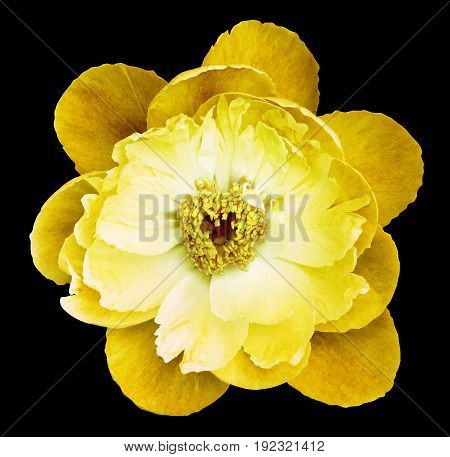 Peony Flower yellow on the black isolated background with clipping path. Nature. Closeup no shadows. Garden flower.