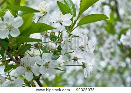The spring blooming of an apple-tree is distinguished by an abundance of flowers. An excellent solution for the background component.