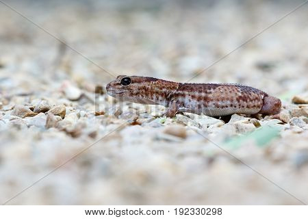Side View Of The Gecko Walking