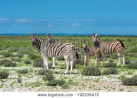 Zebras in Etosha national park Namibia South Africa