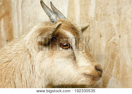 Close Up Of A Goat's Head