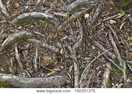 A Clever Plexus Of Wood Roots In The Forest.