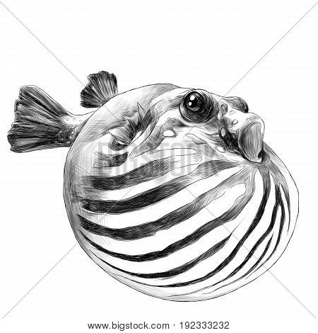 fish arothron bubble inflated sketch vector graphics black and white drawing