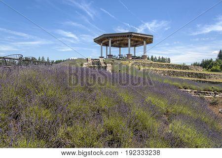 Lavender plants and farm in rural Oregon.
