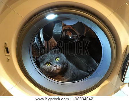 Gray Scottish fold cat lying in the washing machine while the door is open