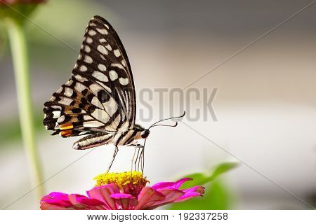 Image of The Lime Butterfly on nature background. Insect Animal (Papilio demoleus malayanus Wallace 1865)