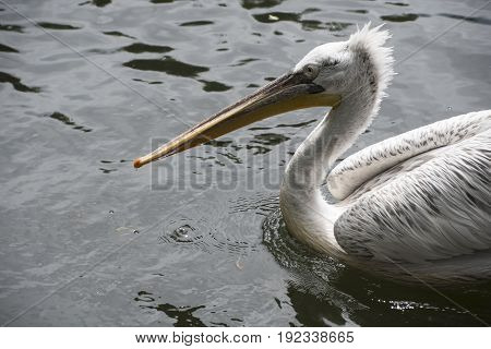 White pelican (Pelecanus onocrotalus) also known as the rosy pelican.