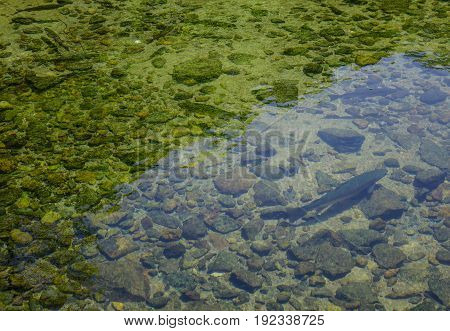 Rainbow Trout Fish Swimming On The Pond