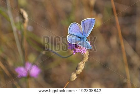 Little blue butterfly on the flower, macro and closeup photography