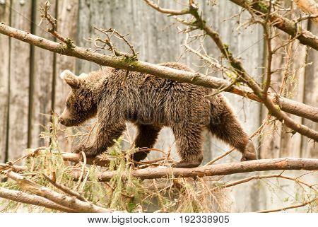 Brown Bear At The Zoo At Goldau