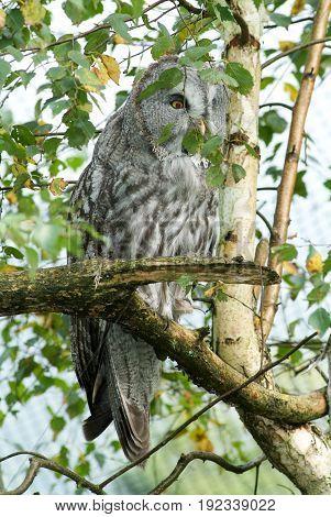 The Ural Owl (strix Uralensis)