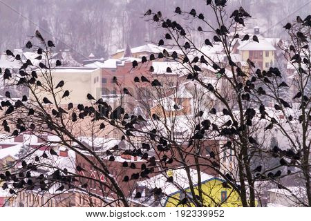 A huge flock of crows sits on trees in the background of the winter city of Truskavets Ukraine.