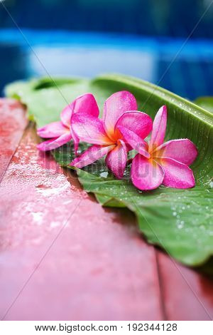 Pink Frangipani Near Swimming Pool Copy Space