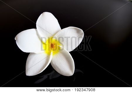 Frangipani flower on a black background.Plumeria tropical flower.Spa concept.Selective focus.